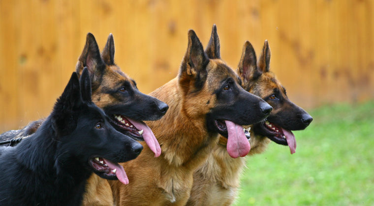 German Shepherd History: A Fascinating Look Into the Breed's Origins