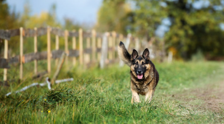 How Smart is a German Shepherd?