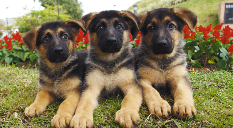3 Things to Look for When Buying a German Shepherd