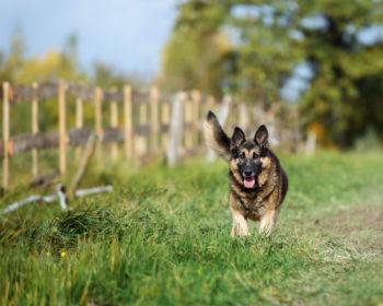 How Smart is a German Shepherd?
