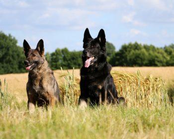 5 Key Differences between German Shepherds and Dobermans