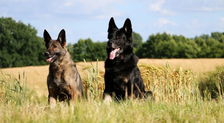 5 Key Differences between German Shepherds and Dobermans