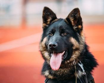 Are German Shepherds Loyal Dogs?