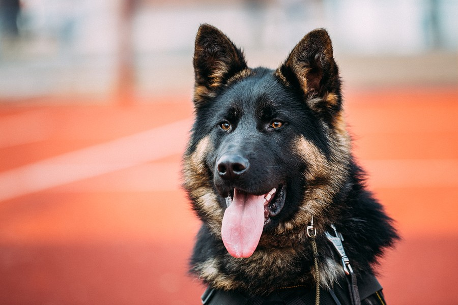 Are German Shepherds Loyal Dogs?