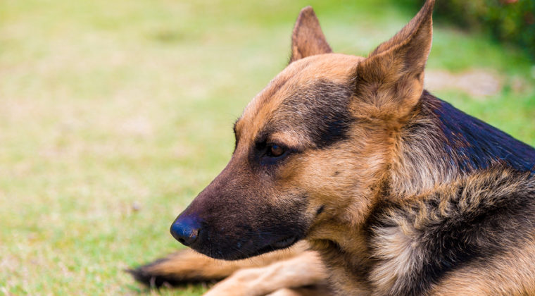 What Are the Top 5 Reasons to Own a GSD (German Shepherd Dog)?