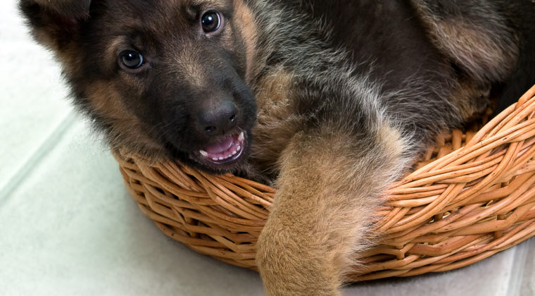 German Shepherds Puppies: Behavior Characteristics to Watch Out For
