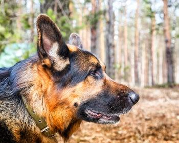 10 Health Tips for Your German Shepherd