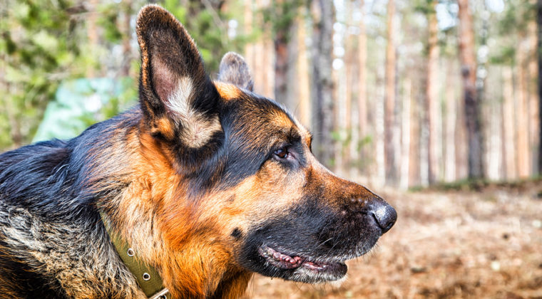 10 Health Tips for Your German Shepherd